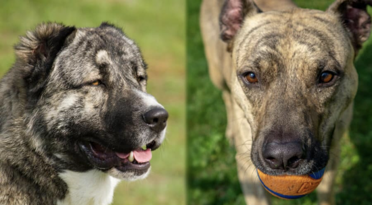 Russian bear Dog V/s Pitbull: Differences and Similarity
