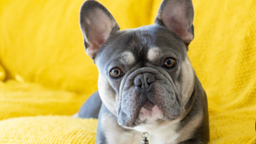 7 Important Things You Must Know About the French Bulldogs